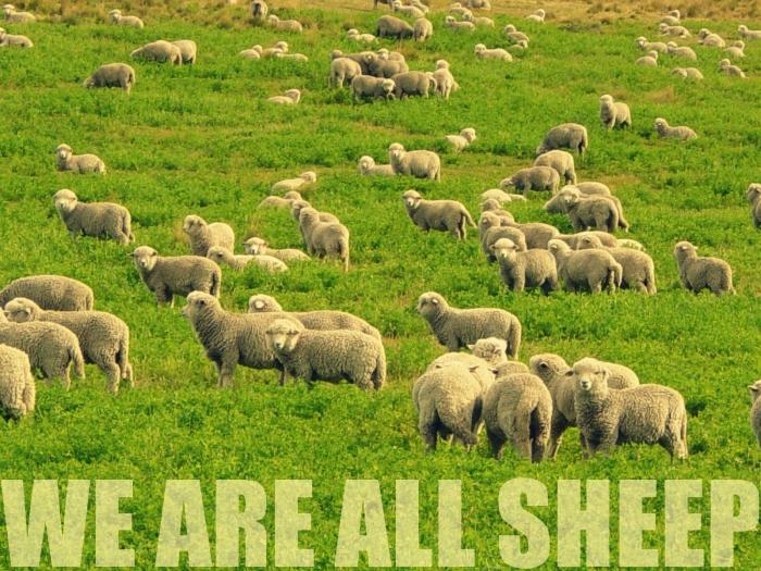 Sheep Edit