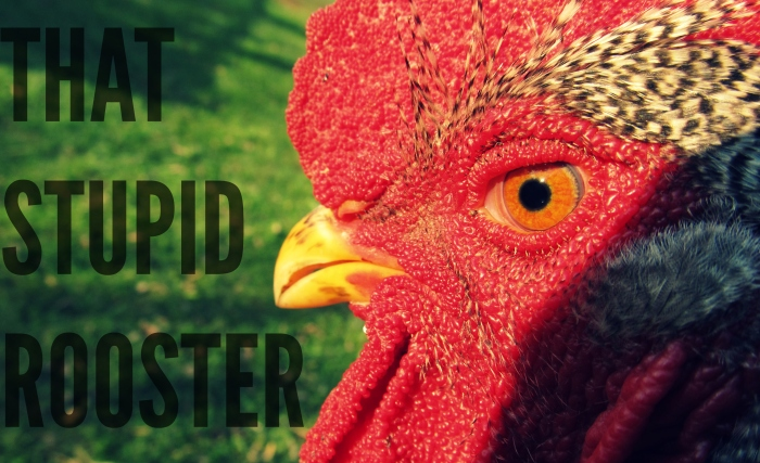 Stupid Rooster